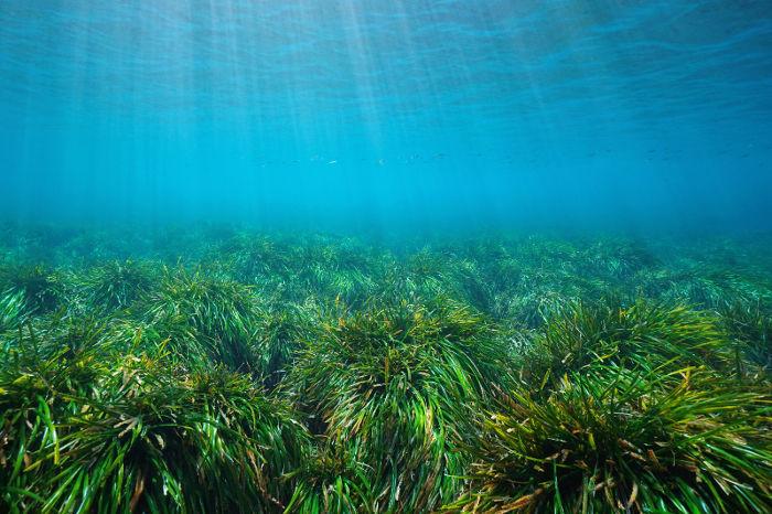 Imagen subacuática de la posidonia